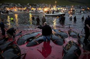 残忍!丹麦小岛迎传统屠鲸节 血染大海
