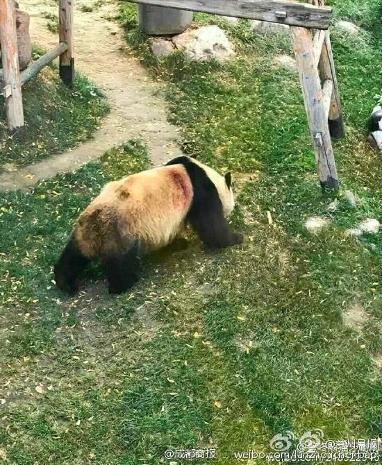 """视频:网传""""兰州动物园虐待大熊猫事件""""调查"""