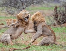 两只狮子正交配时杀出个第三者,两只雄狮激烈交战,母狮愤怒出走