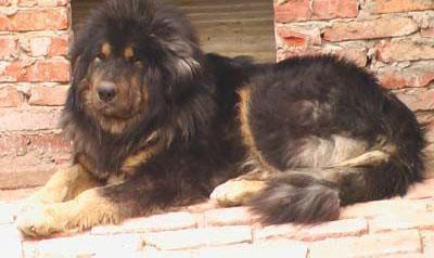 探索比藏獒更牛的高加索犬 一口咬死藏獒 世界上体型最大狗
