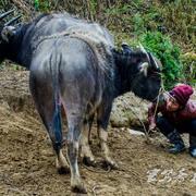 从江停洞赶集日在镇外的河滩上有个牛市场,来这里买牛都是用现钱