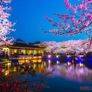 别去日本看樱花,世界三大赏樱胜地之一在中国,游客:比日本好看