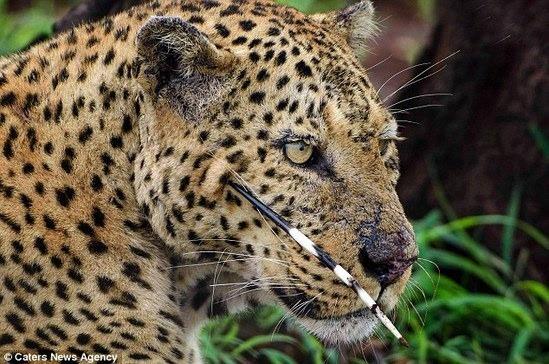 挑错对手的后果:豹子君表示豪猪刺一点也不好吃!图片