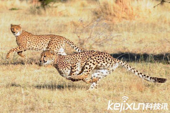 陆地上时速最快十种动物