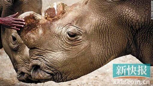 根据世界自然基金会统计,全球野生的北部白犀已经绝种,仅在动物园和