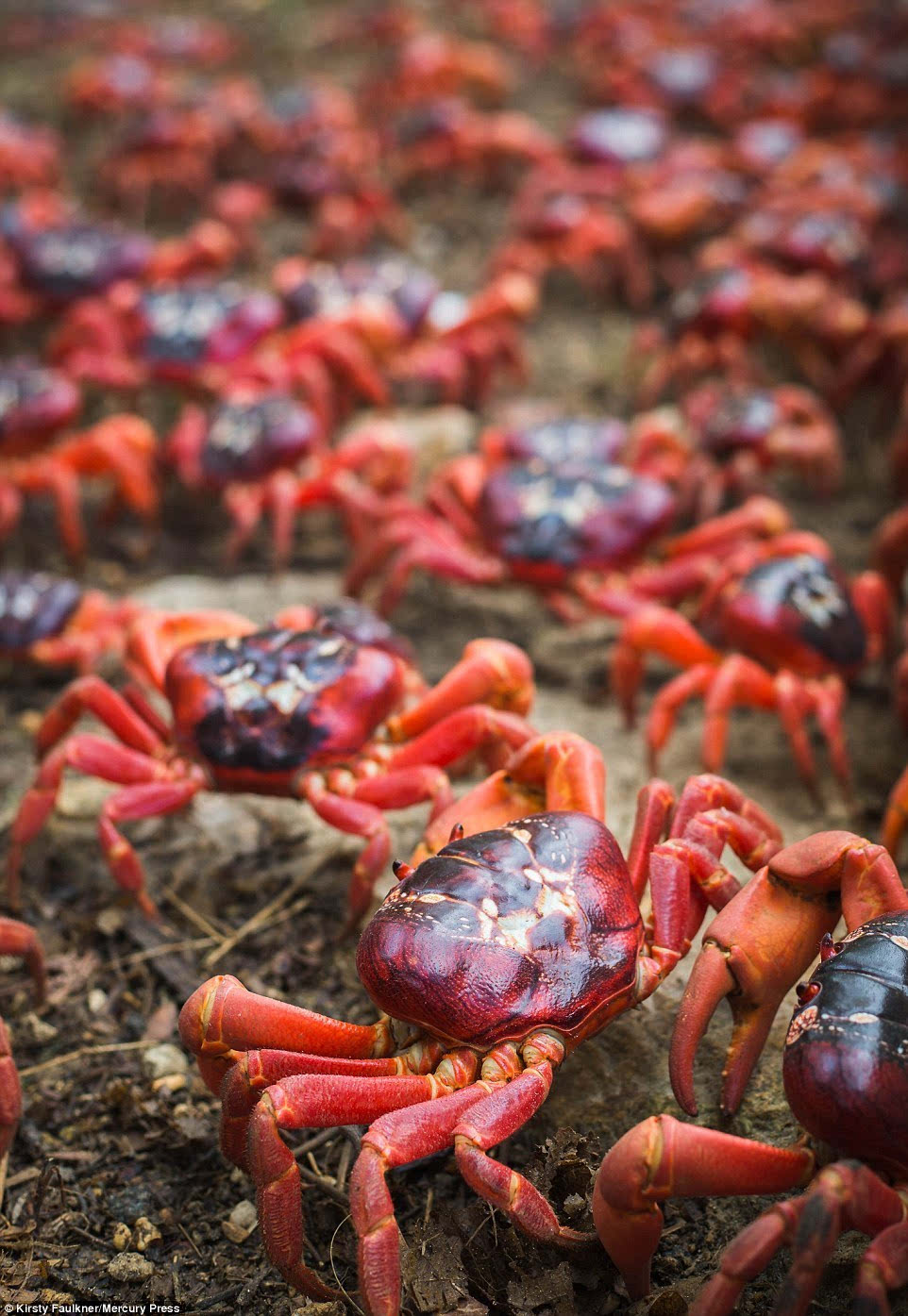 年度大冒险 1200万只澳洲红蟹大迁移横行圣诞岛