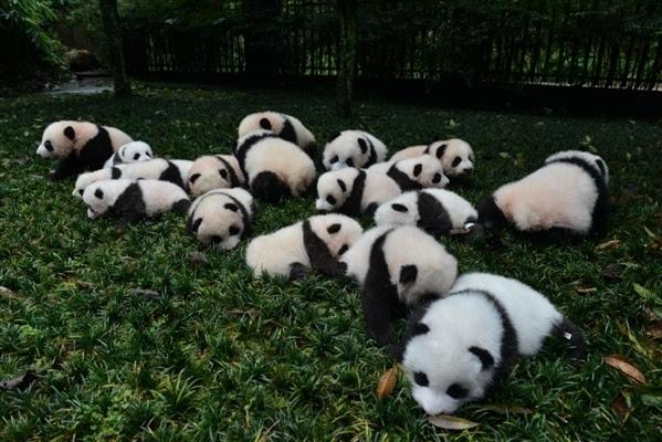 四川正在申报建大熊猫国家公园