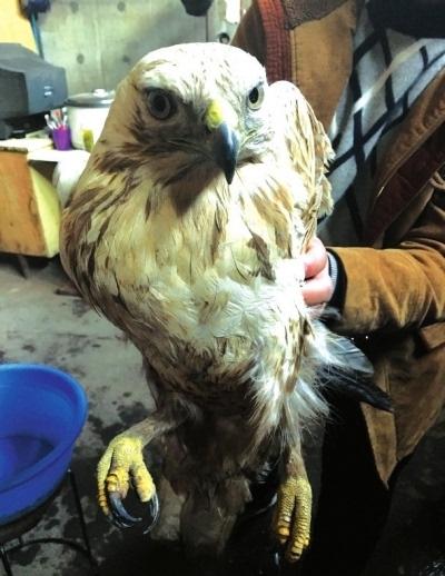兰州市民捡到一只鹰 系国家二级野生动物毛腿鵟 图