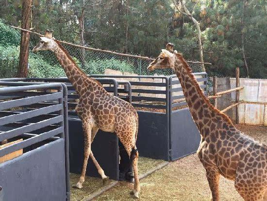 训练自己进运输笼 2013年11月26日23头长颈鹿从南非运往云南野生动物园已2年时间了,等待长颈鹿成功训练进运输笼内,市民有望在云南见到最大的长颈鹿种群。云南野生动物园的长颈鹿将启程前往新的长颈鹿馆开始新的生活。在国外,运输大型食草动物先是使用药物镇定之后才装笼运输,如果采取这种方法,对长颈鹿的身体状况具有很大的影响,并有严重的安全隐患。为了能使长颈鹿顺利安全的装笼运输,云南野生动物园决定提前把运输笼放到长颈鹿的活动场地里面,让它们先熟悉并训练装笼。 12月10日,一辆大货车驶进了云南野生动物园的长颈