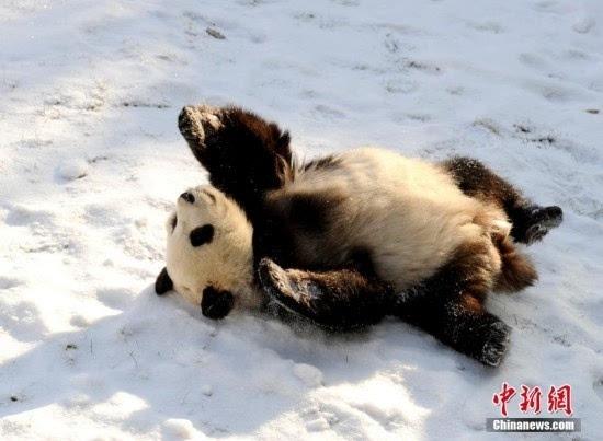 大熊猫长春越冬雪地卖萌