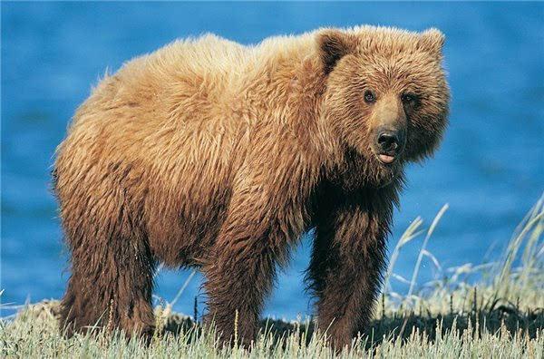 动物 熊科 600_396