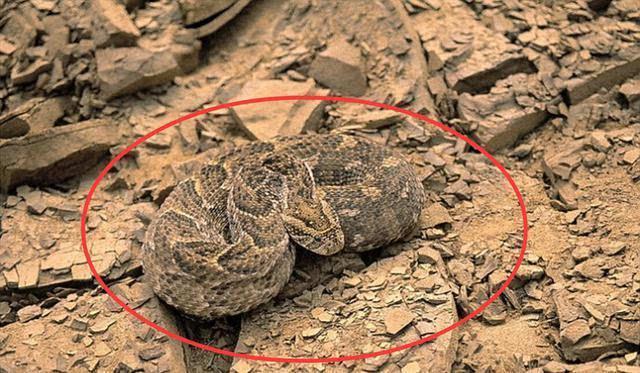 在非洲沙漠有一种致命的动物隐隐潜伏着