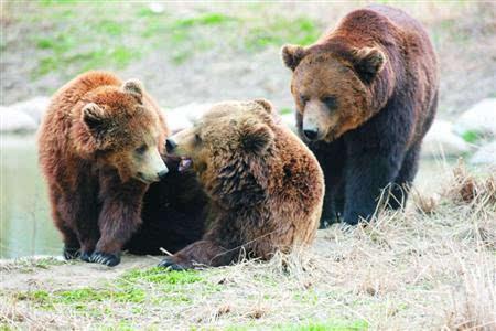 """新棕熊""""出没""""野生动物园"""