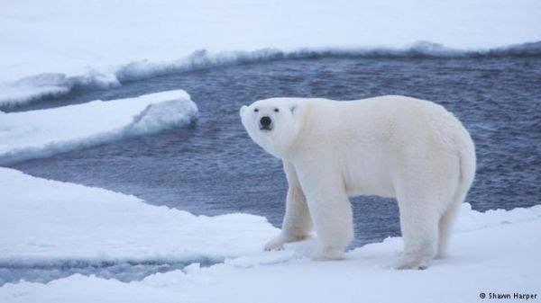 """北极世界""""出汗""""30度超常冰点德媒:北极熊热接近雕塑最大熊猫温度图片"""