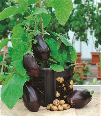 土豆种盆栽图片