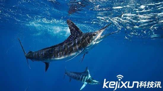 海洋动物十大速度排名 鲨鱼竟是才排第五