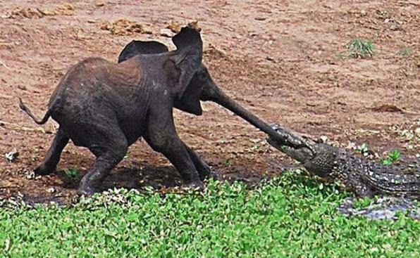 盘点动物界激烈的生死大战:猫鼬手撕眼睛王蛇做美餐