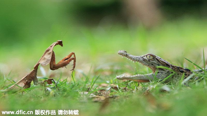小螳螂勇踩鳄鱼宝宝脑袋爬行