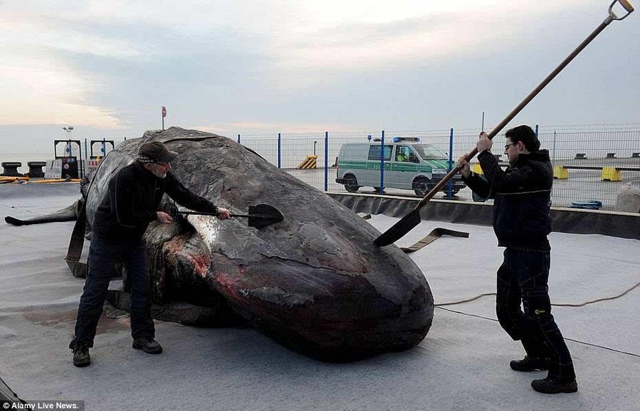世界上最大的鲸鱼