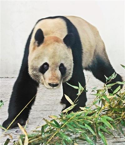 """大熊猫""""明明""""入住西安秦岭野生动物园"""