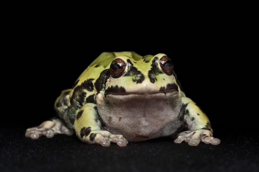 动物摄影:厄瓜多尔濒临灭绝的青蛙