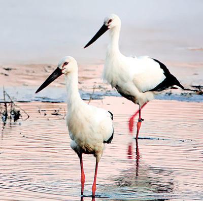 鄱阳湖越冬的国家二级保护动物大天鹅