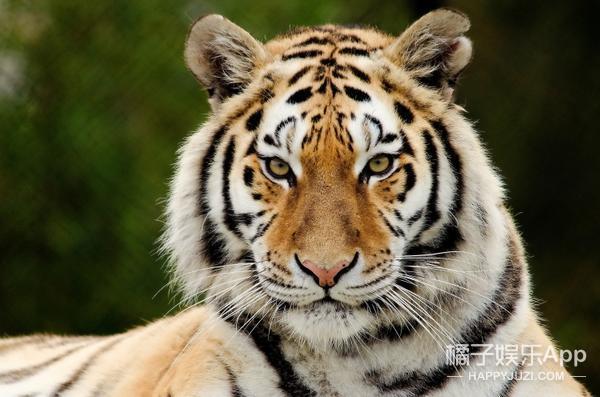 世界最丑老虎:一张狗脸还敢说自己是百兽之王