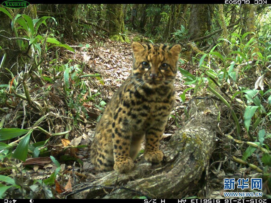 继2014年10月在该保护区拍摄到珍稀动物云猫活动的照片之后,腾冲分局