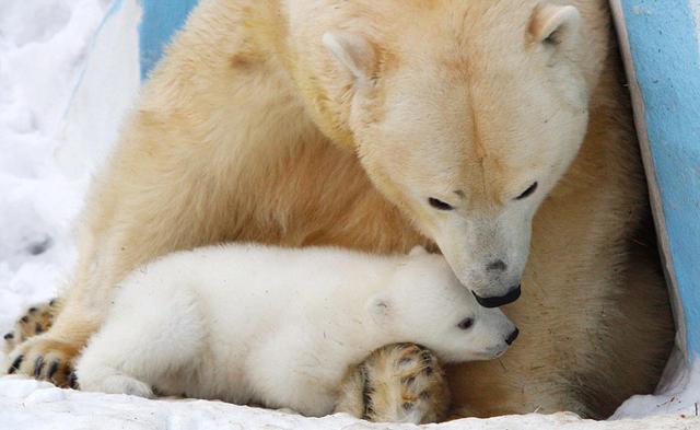 俄罗斯动物园北极熊仓鼠雪中嬉戏萌化组图(高清笼子)中国最大的母女游客在哪买图片