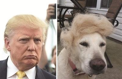 """宠物狗,宠物鸟,宠物鼠,甚至玉米,饭团等都被人们做出了""""川普发型""""图片"""