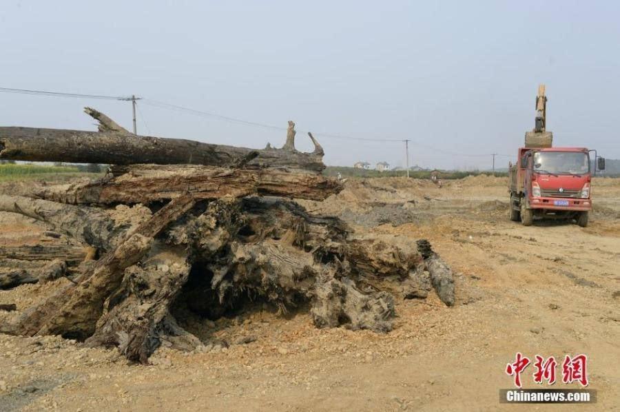 湖北村民挖鱼塘挖出大量乌木 最大一棵25米长乌木挖出
