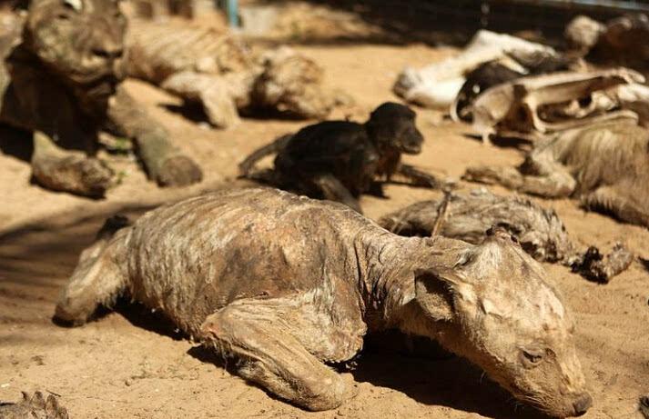 世界上最糟糕的动物园 众多动物饿死尸体腐朽风干变木乃伊