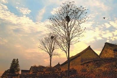 村头大树上的鸟巢.