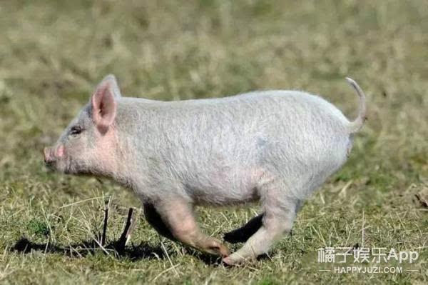 是一只可爱的宠物猪