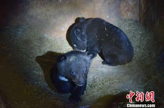 """云南野生动物园现黑熊""""奶妈""""(图)"""