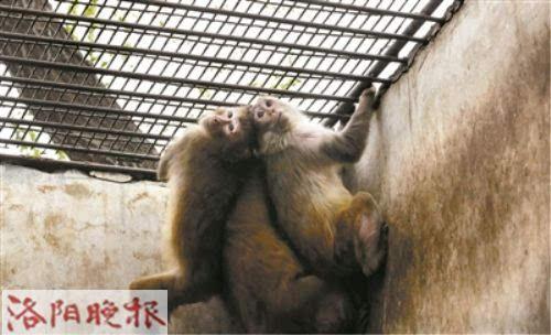 """王城公园猕猴搬家上演""""大闹天宫"""""""