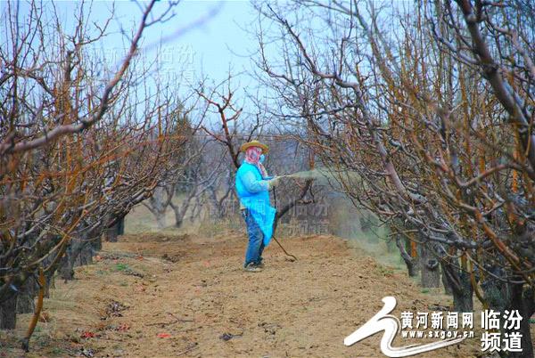 视觉临汾:隰县果农对梨树进行早期管理