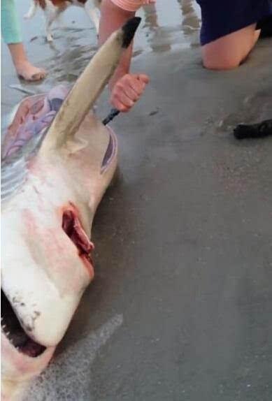 海边冲来一条鲨鱼,用刀切开腹部后惊呆