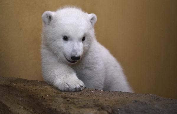 去年11月出生于德国不莱梅动物园的一只小北极熊