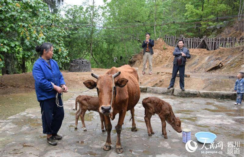 """据诺水河镇畜牧站站长介绍,牛属单胎动物,在自然条件下,产""""双胞胎""""的"""