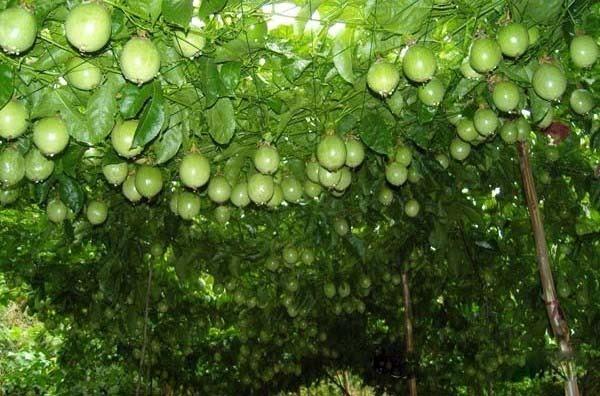 也许知道苹果树长什么样子,可是你知道火龙果,山竹,腰果是怎么结出来