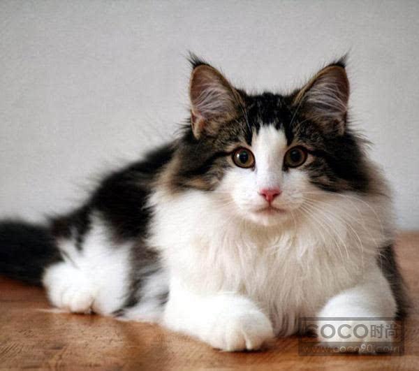 猫的品种大全及图片 宠物专家整理