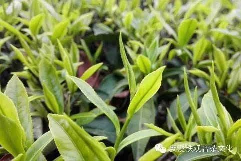 种铁观音茶树