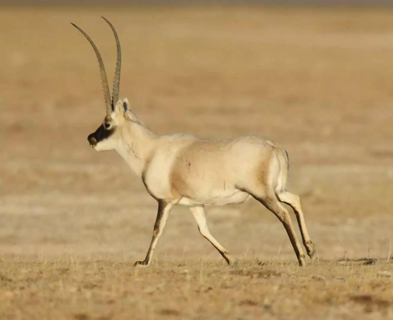 芊芊羊羊-美美哒藏羚羊   高鼻羚羊(羊兄,你的鼻子好帅)   羊牛族(哈哈,这