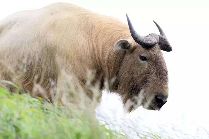 芊芊羊羊-羚牛(为何如此沧桑……)   麝牛(请叫我牛魔王)   羊羚族   高鼻羚羊