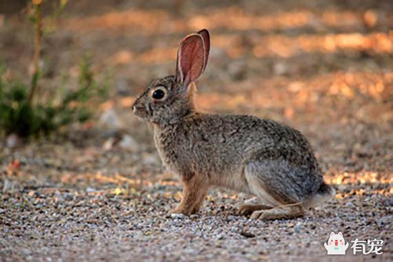 沙漠棉兔和其他兔类一样,也是食草动物,不同的是,它们会吃各种各样