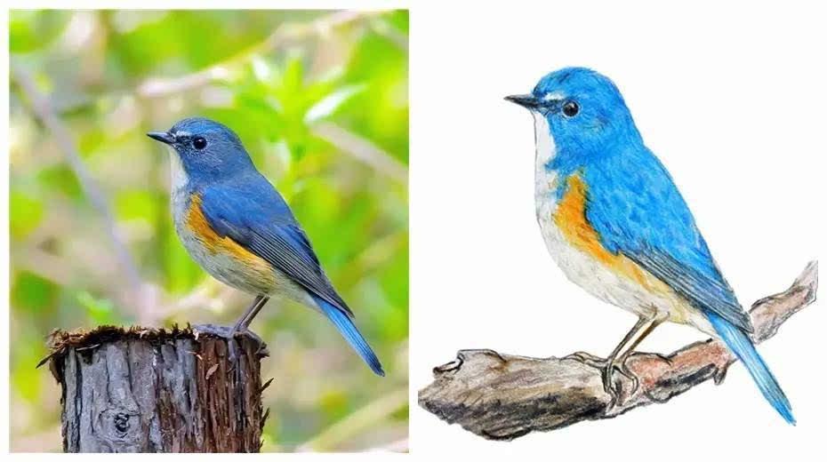 红胁蓝尾鸲雄鸟,由阳德青拍摄(左)并手绘(右).