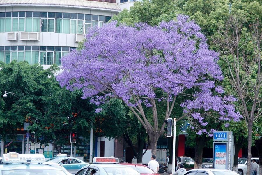 其它 正文  蓝花楹树下的恋情 事儿麻镜头里出现一对校园情侣 瞬间