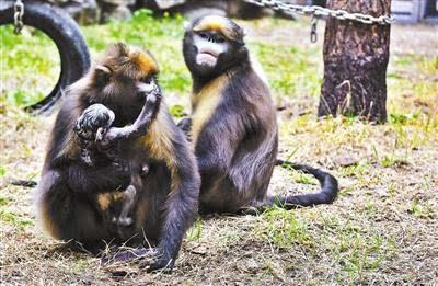 4月23日晚9时24分,北京动物园黔金丝猴生下一只雌性小猴仔,昨天一家三
