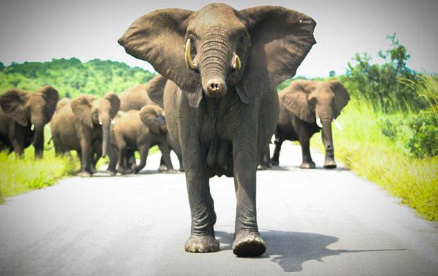 南非野生动物园观光车突遭象群攻击(组图)